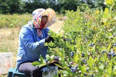 China cash, market spur Canadian blueberry deluge - http://worldwide-finance.net/news/commodities-futures-news/china-cash-market-spur-canadian-blueberry-deluge