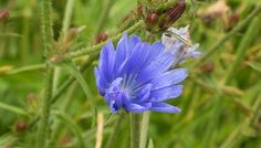 Information on the traditional uses, scientific studies, dosages, side effects and active substances of the medicinal herb chicory (Cichorium intybus)