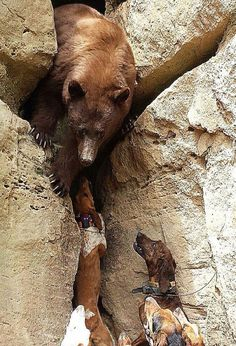 Bear hunting with dogs