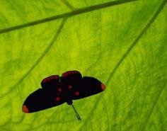 Una mariposa de colores vibrantes descansa en la hoja gigante de una alocasia.