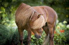 The Miniature horse is known for being gentle and friendly towards people.