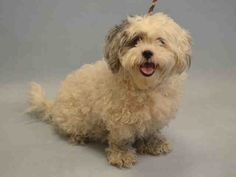 SUPER URGENT--- TO BE DESTROYED 09/28/15 Manhattan Center  **RESCUE ONLY** My name is MATHIAS. My Animal ID # is A1052314. I am a neutered male white and gray lhasa apso and poodle min mix. The shelter thinks I am about 2 YEARS  I came in the shelter as a STRAY on 09/22/2015 from NY 10457, owner surrender reason stated was STRAY.