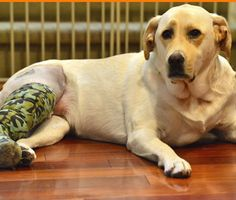 Cruciate ligament injuries can be painful for dogs. Learn how these injuries are diagnosed and treated, and what the prognosis is.