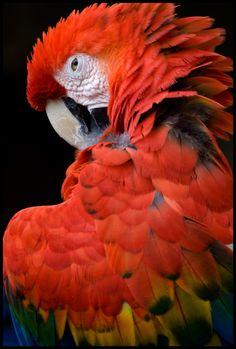 Scarlet Macaw by ~Shady-Tradesman