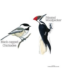 pileated woodpecker drawing