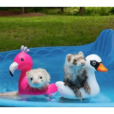 We're having a girls day at the pool! Original photo on Slide Two. Story… We're having a girls day at the pool! Original photo on Slide Two. Ferrets Care, Baby Ferrets, Funny Ferrets, Ferret Toys, Pet Ferret, Chinchilla, Cute Creatures, Beautiful Creatures, Animals Beautiful