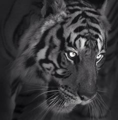 Photograph Tiger of darkness by Salah Sultan on 500px