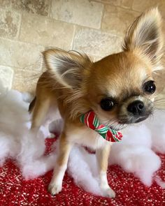 Cute Chihuahua, Chihuahua Puppies, Cute Puppies, Cute Dogs, Dogs And Puppies, Animals Kissing, Cute Baby Animals, Animals And Pets, Funny Profile Pictures