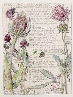 H. Isabel Adams, Botanical illustration