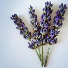 View top-quality stock photos of Closeup Of Lavender Flowers Against White Background. Find premium, high-resolution stock photography at Getty Images. Lavander, Lavender Flowers, Flowers Nature, Boutique Marie Claire, Savage Garden, Floral Photography, Flower Backgrounds, Herb Garden, Close Up