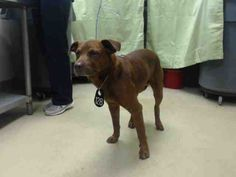 HOUSTON - 	This DOG - ID#A419140  I am a male, red and black Chow Chow and Labrador Retriever.  My age is unknown.  I have been at the shelter since Nov 06, 2014.