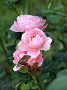 Queen of the shrub rose Svidén (Queen of Sweden, David Austin 2004