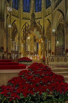 Beautiful poinsettias grace Saint Patrick's Cathedral in New York City at Christmas time.
