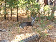 Yosemite NP - De nombreuses biches se promènent à Yosemite