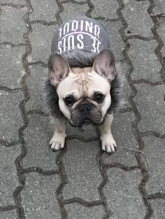French Bulldog ❤ Puppies And Kitties, Doggies, French Bulldog Costume, Girls Best Friend, Best Friends, French Bulldogs, Bullies, Boxers, Adorable Animals