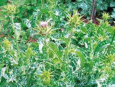 ostropestřec mariánský (Silybum marianum)