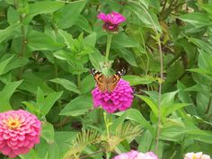 painted lady nectars on a zinnia-a fab nectar source in Pontotoc, Ms.