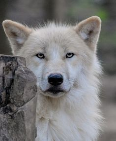 wolveswolves:  Arctic wolf (Canis lupus arctos) by somkuti on Flickr