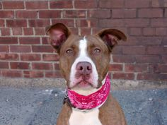 TO BE DESTROYED 4/20/14 Brooklyn Center -P  My name is ANASTASIA. My Animal ID # is A0996630. I am a female brown and white pit bull mix. The shelter thinks I am about 2 YEARS   I came in the shelter as a STRAY on 04/14/2014 from NY 11226, owner surrender reason stated was STRAY. https://www.facebook.com/photo.php?fbid=788521817827366&set=a.611290788883804.1073741851.152876678058553&type=3&theater