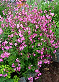 "Silene dioica (Syn: Melandrium rubrum) Really fast to bloom, you'll get a whole lotta flowers on branching stems above a hearty 18"" clump of spoon shaped leaves. Cut back after blooms fade for quick repeat flowering, which lasts for months and to prevent excessive reseeding. Good cut flowers! Excellent for mid-bed showiness and containers. Rich soil for best performance. To 30"" x 30"". Butterflies!"