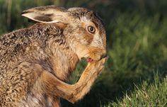 Brown Hare, photo by Sandra Standbridge