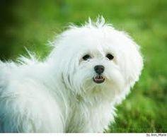 www.petclic.es la mayor tienda online de productos para #mascotas. La mayor biblioteca de contenido y consejos sobre mascotas. 1.000 consejos. 50.000 imagenes. Foto del #perro bichon maltes