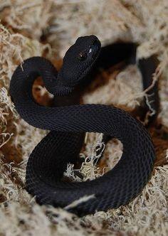 Exotic Venom