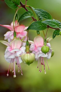 Fuschia Flower°°