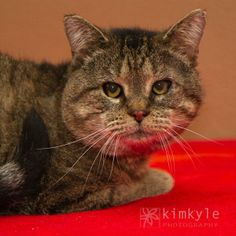 Meet Porter a Petfinder adoptable Domestic Short Hair Cat   Neenah, WI   Hi there. My name is Porter and I am a 3 1/2 year old charming loverboy. I am a very loving guy and...