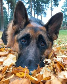 Wicked Training Your German Shepherd Dog Ideas. Mind Blowing Training Your German Shepherd Dog Ideas. Types Of German Shepherd, German Shepherd Memes, German Shepherd Pictures, Funny German Shepherds, Cute German Shepherd Puppies, Working Dogs, Beautiful Dogs, Dogs And Puppies, Doggies
