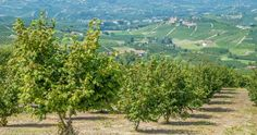 Hazelnut field in Piedmont - How Piedmont Gave Us the World's Most Beloved Hazelnut Cocoa Spread l #Italia