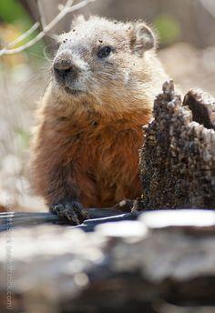 Groundhog -
