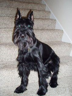 Standard Schnauzers are lively and fun, but they need positive guidance to offset their fiery (but always lovable) personalities. The more you contribute to their intelligence, socialization and quality of life-whether via playtime, constructive games, obedience exercises or good old-fashioned attention-the happier and more manageable they become. Schnauzers love to be involved in family occasions. Though strong and diligent, they can be deeply affectionate, warm and cuddly when the mood…