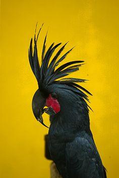 Black Palm Cockatoo.- ©Juergen Berkessel www.flickr.com/photos/berkessel/109783445/