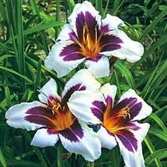 Wild horses reblooming daylilies - showcase piece in lily garden Amazing Flowers, Beautiful Flowers, Exotic Flowers, Reblooming Daylilies, Daylily Garden, Spring Hill Nursery, Sun Perennials, Day Lilies, Clematis