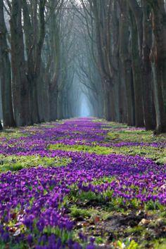 tulipnight: 1 Millionen Krokusse по Нефеш * на Flickr.