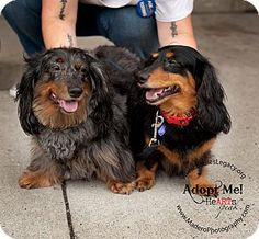 Staten Island, NY - Dachshund. Meet Rocky and Nestle, a dog for adoption. http://www.adoptapet.com/pet/13469056-staten-island-new-york-dachshund