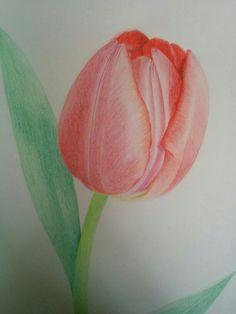 Tulp (potloodtekening)