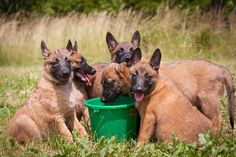 Thirsty Little Malinois by Michaela Smidova on Belgian Malinois Dog, 5 Month Olds, Service Dogs, Working Dogs, Mans Best Friend, Animals And Pets, Amazing Photography, Belgium, Puppies
