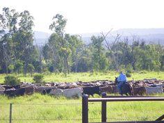 Mustering Cattle at Comet Queensland