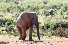Female Elephant walking on the ground Female Elephant walking on the ground in the field.
