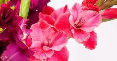 Cómo plantar gladiolos en casa para conseguir jardines espectaculares