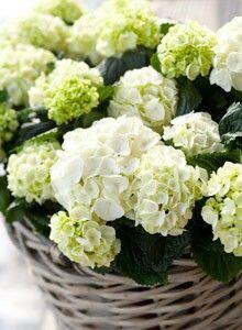 Altijd mooi, witte hortensia's in vergrijsde rieten mand