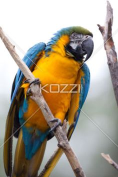 colorful parrot - Macaws are colourful parrots that is native to south America.