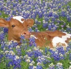 Longhorn And Blue Bonnets by Kiersten Stephens - Longhorn And Blue Bonnets by Kiersten Stephens Texas Hill Country in Spring Beautiful Creatures, Animals Beautiful, Animals And Pets, Funny Animals, Wild Animals, Fluffy Cows, Baby Cows, Baby Farm Animals, Baby Elephants
