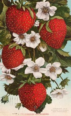 Strawberry Pictures, Strawberry Art, Botanical Illustration, Botanical Prints, Illustration Art, Fall Arts And Crafts, Strawberry Decorations, Vintage Seed Packets, Fruit Picture