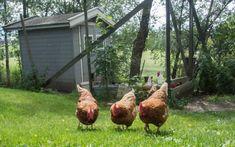 Hvordan holde høner i hagen Christmas Gifts, Xmas Gifts, Christmas Presents