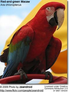 Red-and-green Macaw or Green-winged Macaw (Ara chloroptera) Green Wing Macaw, Parrot, Wings, Gardens, Bird, Nature, Beauty, Birds, Animales