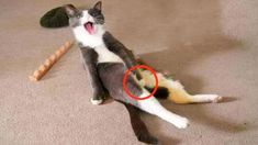 Funny Cat Compilation, Funny Cat Videos, Animals And Pets, Funny Animals, Cute Animals, Memes Chats, Very Funny Gif, Best Cat Gifs, Cat And Dog Videos