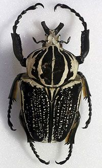 The Goliath Beetle